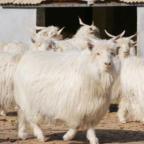 德绒山羊_扎鲁特白绒山羊展示