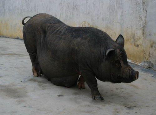 黑猪萌图片大全可爱